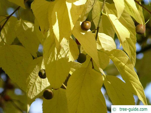common hackberry (Celtis occidentalis) fruits