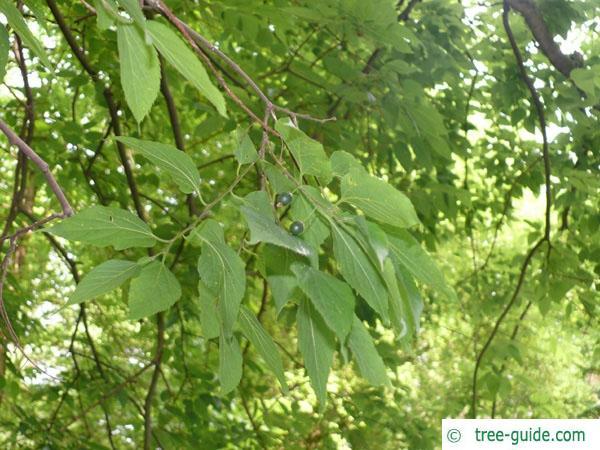 common hackberry (Celtis occidentalis) leaves