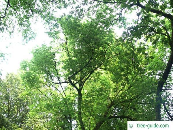 common hackberry (Celtis occidentalis) tree