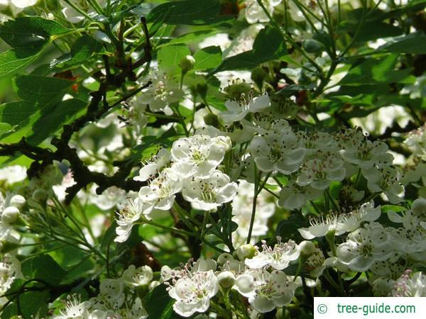 common hawthorn (Crataegus monogyna) flower 2
