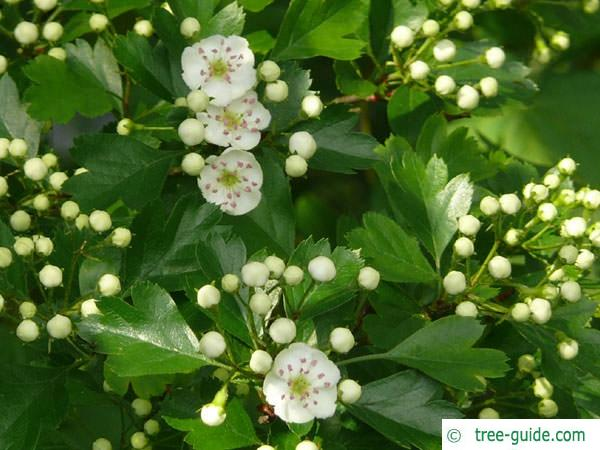 common hawthorn (Crataegus monogyna) flowers