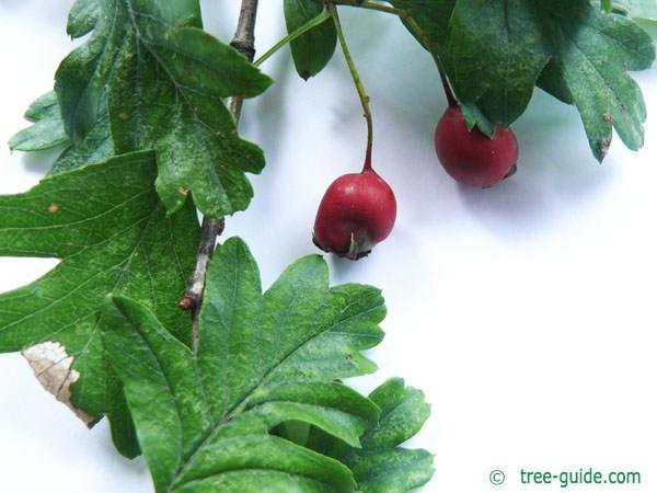 common hawthorn (Crataegus monogyna) fruits