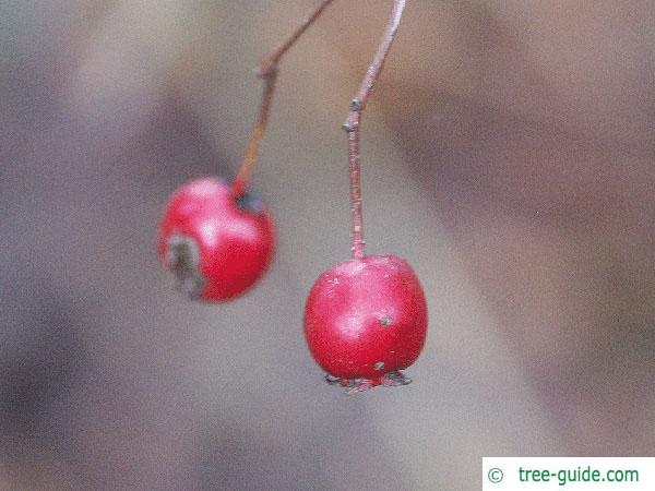 common hawthorn (Crataegus monogyna) fruit