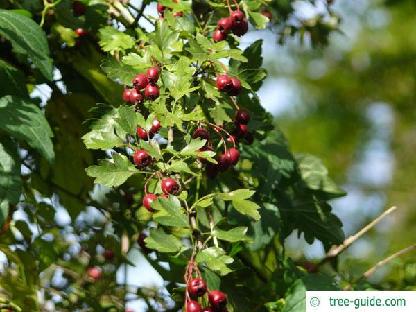 common hawthorn (Crataegus monogyna) leaves and berries