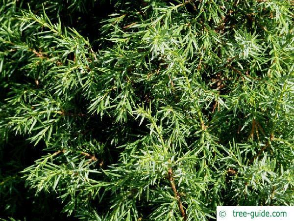 common juniper (Juniperus communis) branches