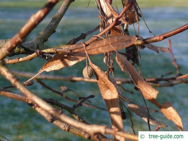 common lime (Tilia intermedia) fruit in winter