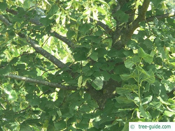 common lime (Tilia intermedia) foliage