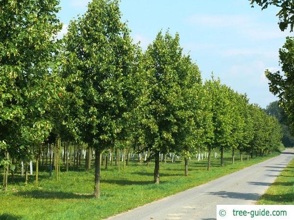 common lime (Tilia intermedia) tree