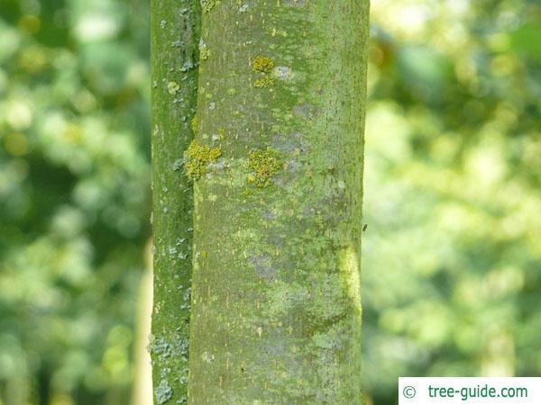 common lime (Tilia intermedia) trunk / stem