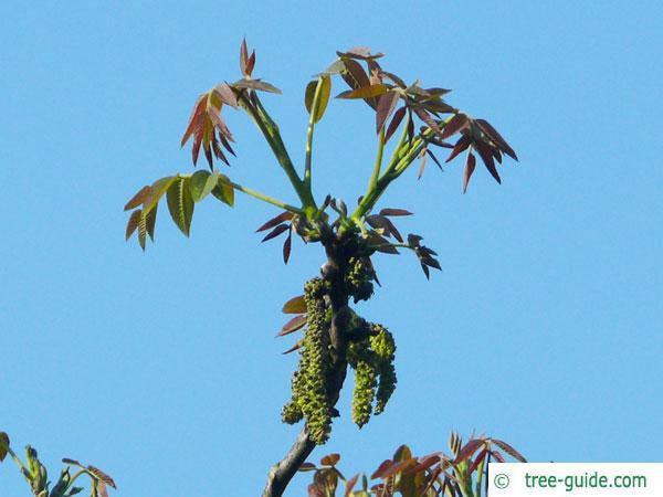 common walnut (Juglans regia) blossom