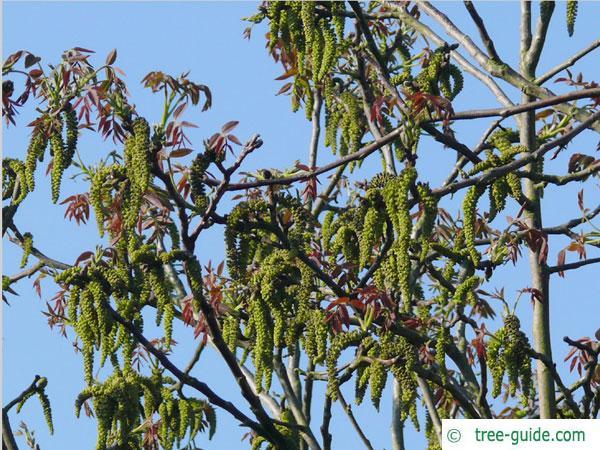 common walnut (Juglans regia) blossoms