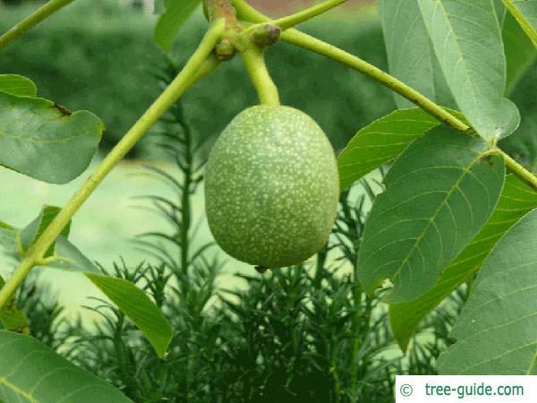 common walnut (Juglans regia) fruit