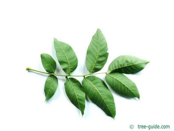 common walnut (Juglans regia) leaf underside