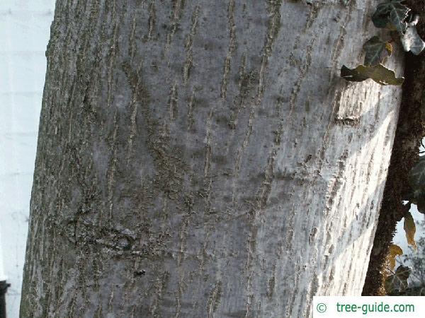 common walnut (Juglans regia) trunk