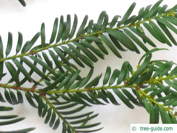 common yew (Taxus baccata)  needle