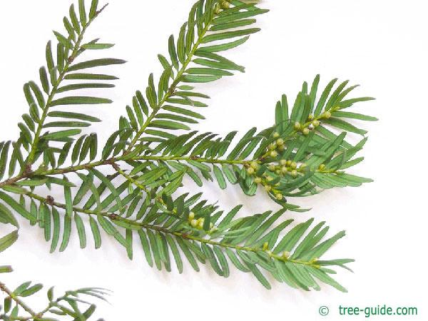 common yew (Taxus baccata)  branch