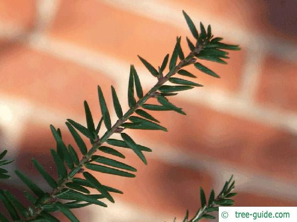 common yew (Taxus baccata)  branch tip