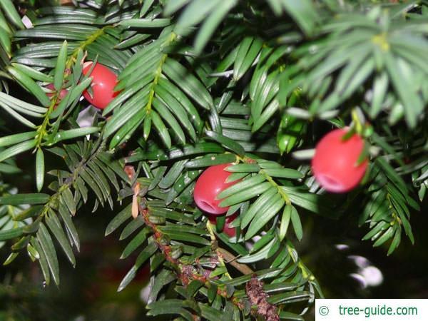 common yew (Taxus baccata)  beeren