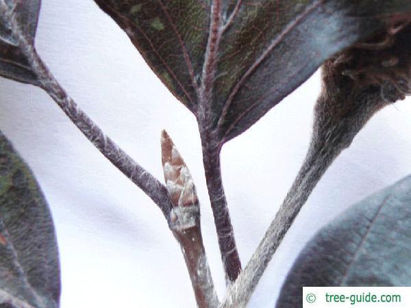 copper beech (Fagus sylvatica purpurea) bud summer