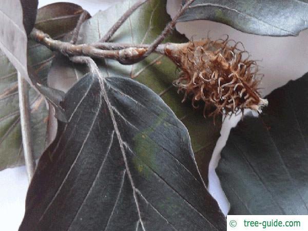 copper beech (Fagus sylvatica purpurea) fruit detail