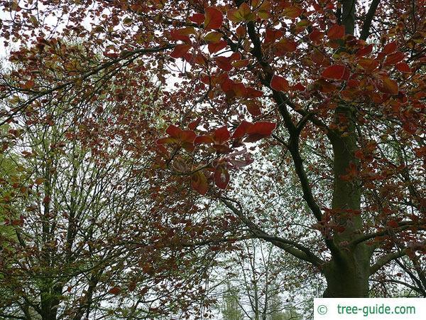 copper beech (Fagus sylvatica purpurea) leaves