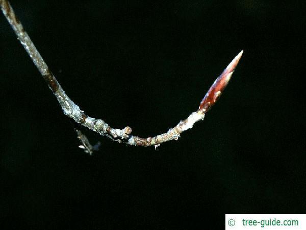 copper beech (Fagus sylvatica purpurea) bud