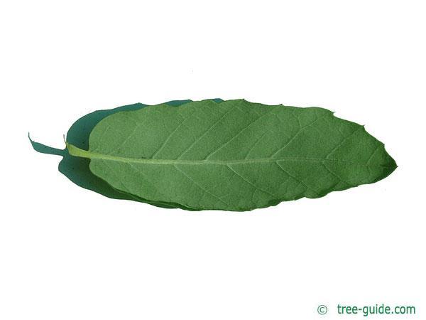 cork oak (Quercus suber) leaf underside