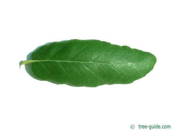 cork oak (Quercus suber) leaf