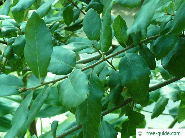 cork oak (Quercus suber) leaves