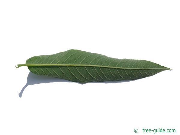 crack willow (Salix fragilis) leaf underside