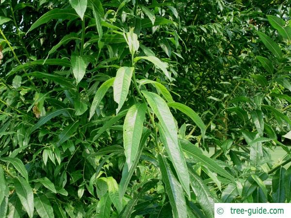crack willow (Salix fragilis) leaves