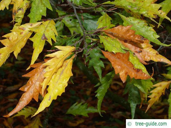 cut-leaf beech (Fagus sylvatica 'Laciniata') foliage in autumn