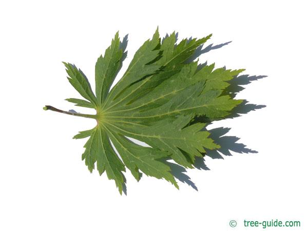 cut leaved japanese maple (Acer japonicum 'Aconitifolium') leaf underside
