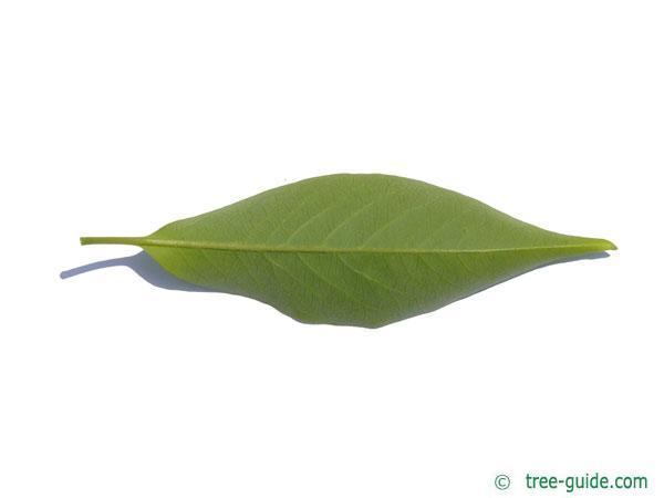 date plum (Diospyros lotus) leaf underside
