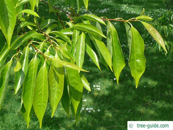 date plum (Diospyros lotus) leaves