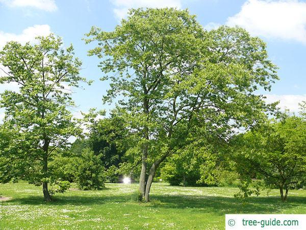 date plum (Diospyros lotus) tree in summer