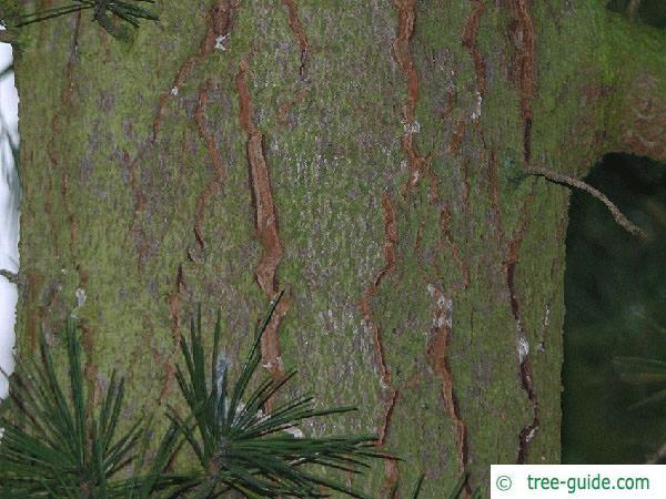 deodar cedar (Cedrus deodara) trunk