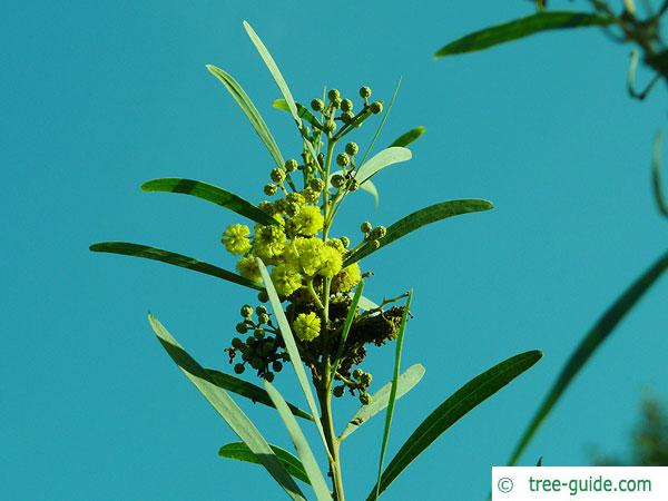 dietrich wattle (Acacia dietrichiana) blossom