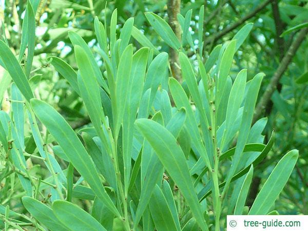 dietrich wattle (Acacia dietrichiana) leaves