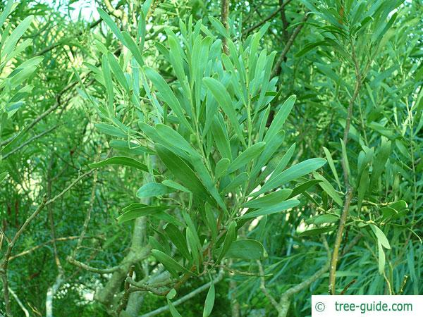 dietrich wattle (Acacia dietrichiana) twig with leaves
