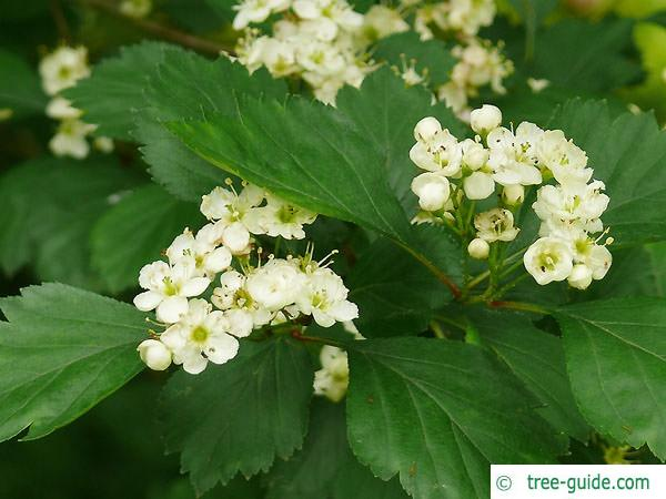 douglas hawthorn (Crataegus douglasii) flowers