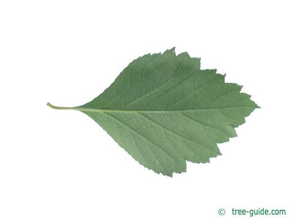 douglas hawthorn (Crataegus douglasii) leaf underside