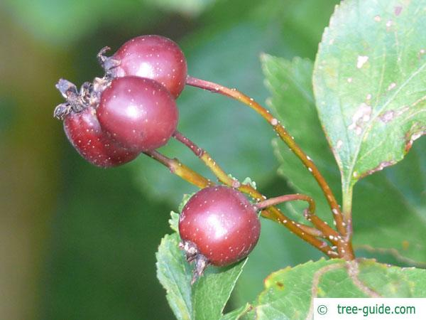 douglas hawthorn (Crataegus douglasii) fruits