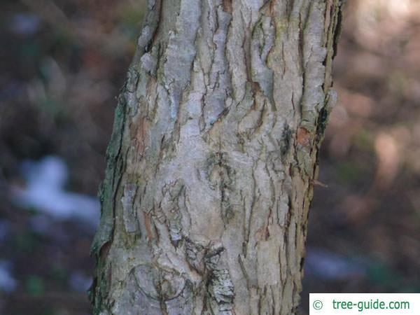 douglas hawthorn (Crataegus douglasii) trunk