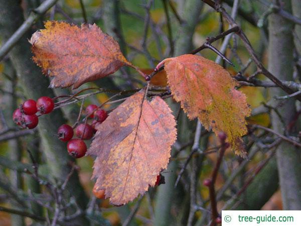 downy hawthorn (Crataegus mollis) leaves in autumn