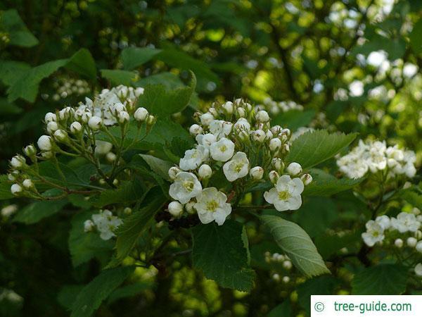 downy hawthorn (Crataegus mollis) blossom crown