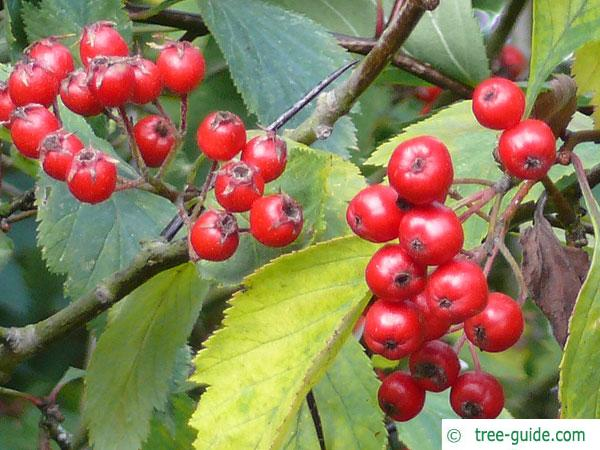downy hawthorn (Crataegus mollis) fruits