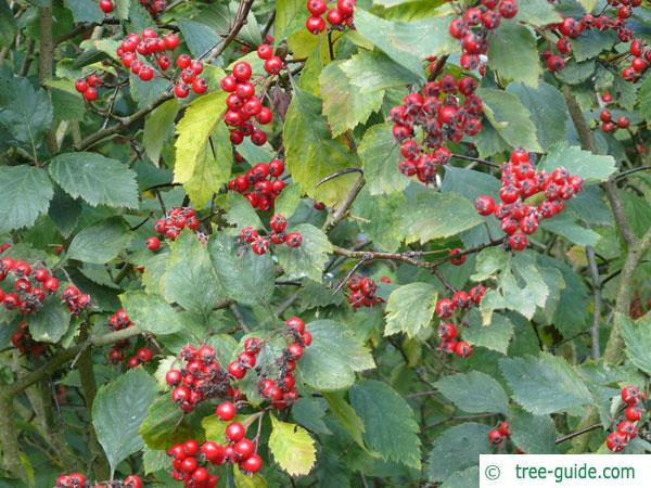 downy hawthorn (Crataegus mollis) fruits and leaves
