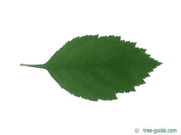 downy hawthorn (Crataegus mollis) leaf