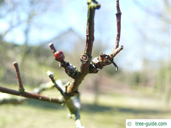 downy hawthorn (Crataegus mollis) branch in winter